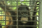 The Orangutan Project calls for urgent assistance to protect Critically Endangered species from COVID-19 poaching surge