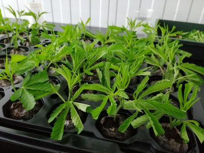 Khiron has successfully exported its registered cannabis strains, in the form of live clones, from Colombia to Europe (CNW Group/Khiron Life Sciences Corp.)