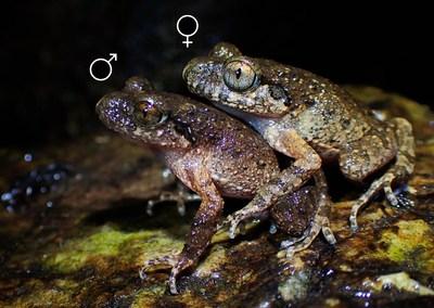 Lau's Leaf Litter Toad.