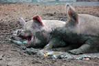 在改善动物福利上滞后的那些滞后的Sobeys和Loblaws表示新的全球报告