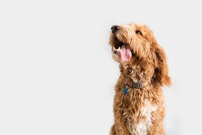 """Baymont by Wyndham is launching a nationwide search for its first-ever """"Baymont Buddy of the Year."""" The winning pup will become the brand's newest ambassador, landing a starring role in an upcoming pet-friendly digital marketing campaign."""