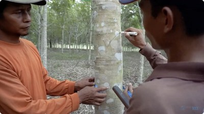 HeveaGROW digital agronomy training modules is a 5-part video series which covers proper tapping techniques to rubber-based agroforestry.
