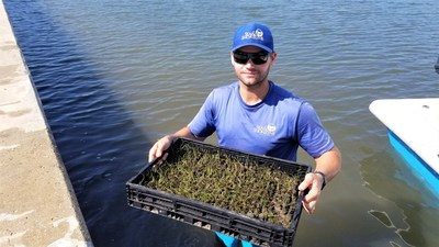 Sea & Shoreline's Lead Biologist Plants Seagrass in Mercabo Cove in Boca Grande, Florida