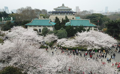 Cherry blossoms in Wuhan