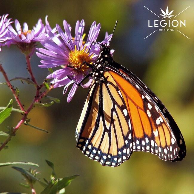 Monarch Butterfly with LEGION logo