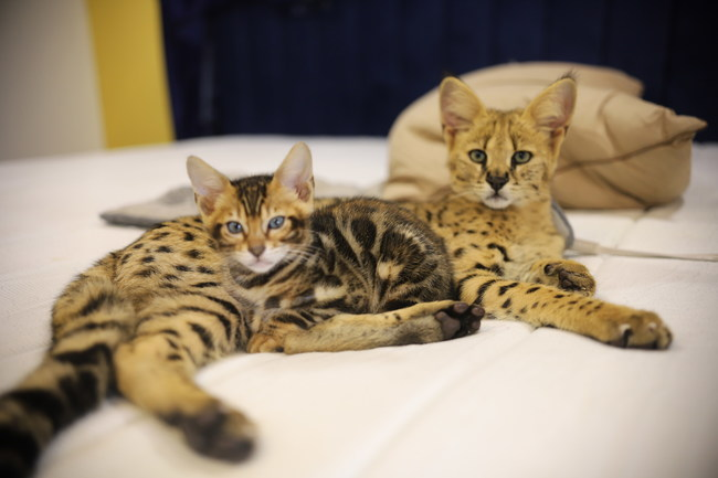"75% F1 Savannah Cat + A Clouded Bengal Kitten taken from instagram.com/f1savannahs. F1 savannah enjoy following humans around, cuddling and chirping when they want something! F1 Savannah cats sometimes inherit the ""chirping"" sound from the african serval cat. Qualities that make savannah cats awesome are their ability to swim swim, their displays of affection including groom their owners."
