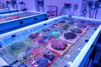 In Need of Rescue: Florida Coral Rescue Center Established to...