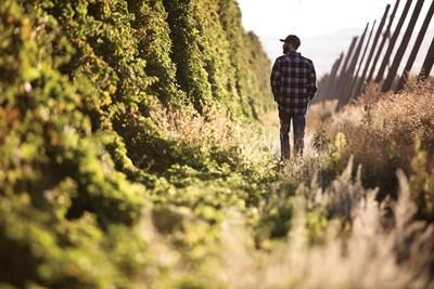 Michael Roy walking in hop field.