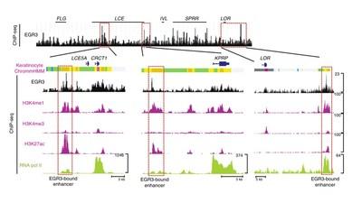 Epigenetic regulation of EGR3 through enhancer RNA (Fig. 4e) (PRNewsfoto/Amorepacific)