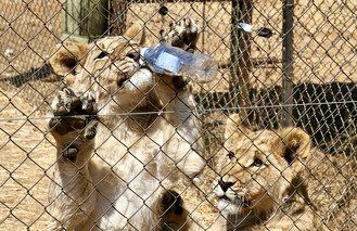 In South Africa, lion cubs can be used to provide tourists with activities such as bottle feeding and walking experiences. Adult lions are used for the canned-hunting trade where they are shot by trophy-hunters who only want their heads. Their bodies are then also exported into the traditional medicine trade. However, South Africa recently announced it would end such practices. Credit: Blood Lions (CNW Group/World Animal Protection)