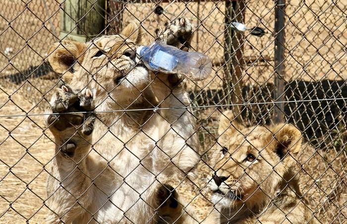 在南非,狮子幼崽可用于为游客提供瓶子喂养和行走体验等活动。成人狮子用于狩猎狩猎贸易,他们被只想要他们的头部的奖杯猎人射击。然后,他们的身体也出口到传统医学贸易中。然而,南非最近宣布将结束这样的做法。信用:血液狮子(CNW集团/世界动物保护)