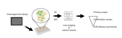 This high-throughput screening system is designed to identify compounds that decrease motor neuron hyperexcitability, a cardinal feature of ALS. Motor neurons derived from patients with ALS are cultured in 384-well plates, and compounds from chemical libraries of small molecules against known molecular targets are added after 3-4 weeks. Live GCaMP imaging, to detect calcium waves indicating neuronal firing, is performed 6 and 24 hours later as a measure of excitability. Compounds identified thro