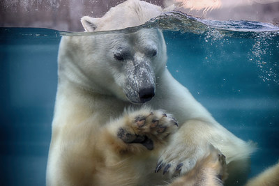 L'Aquarium de Québec est attristé par le décès d'Eddy l'ours blanc à l'âge de 21 ans, un pensionnaire de l'établissement depuis de nombreuses années. © SEPAQ Crédit Photo : Francis Doucet | AQU - Aquarium du Québec (Groupe CNW/Société des établissements de plein air du Québec)