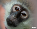 Born Free USA Welcomes New Vervet Monkey to Its South Texas...
