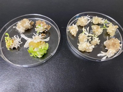 Cas-CLOVER targeted tobacco shoots with knockout mutations for the phytoene desaturase (PDS) gene which results in a visually pale and white phenotype.
