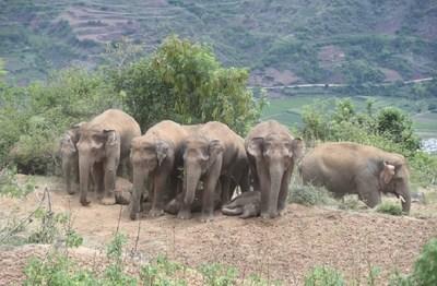 Foto tomada el 21 de junio de 2021 que muestra a los elefantes asiáticos adultos formados en filas para dar sombra a los pequeños. (Foto proporcionada por Cui Yonghong) (PRNewsfoto/Xinhua Silk Road)