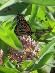 """""""The Flight Of The Monarch Butterfly - The Pollinator Project""""..."""