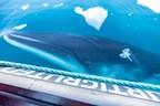 Hurtigruten Expeditions Partners with California Ocean Alliance...