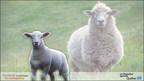 La Financière agricole verse une 1re avance de plus de 9 M $ aux producteurs d'agneaux