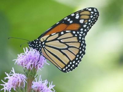 Papillon monarque - Crédit photo: Insectarium de Montréal (K. Vendette) (Groupe CNW/Espace pour la vie)