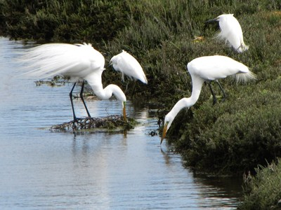 Snowy Great Egrets thriving in the Ballona Wetlands, one of 1,700 species who call LA's last coastal wetlands home. DefendBallonaWetlands.org documents the many other species there. Courtesy Jonathan Coffin