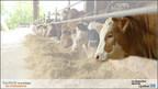 Près de 55 M $ remis en compensation aux producteurs du secteur bovin dans le cadre de la 1re avance pour l'année 2021