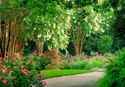 White Crape Myrtles, Roses and Perennials