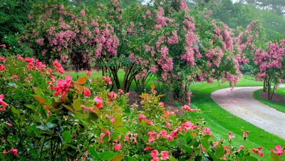 A canopy of Crape Myrtles amid the Rose Gardens.