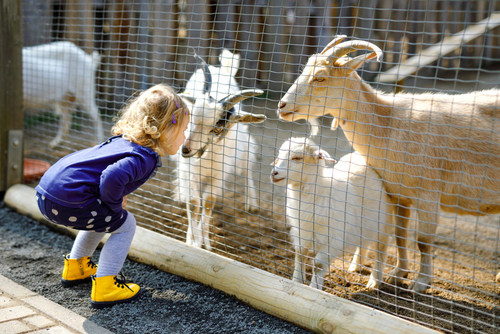 According to veterinarians, some animal-borne diseases can be transmitted from farm animals to people and pets. Those attending state fairs and petting zoos should be aware of the health risks and preventive measures you can take to be safe when petting and feeding animals at these and other fun venues.