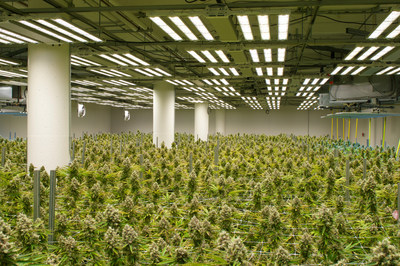 Fohse LED flowering room at LEGION Cultivation a week before harvest