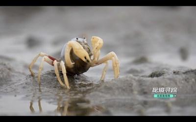 Um caranguejo-soldado em um lamaçal na Baía de Danzhou, ilha de Hainan, na China. (Captura de vídeo) (PRNewsfoto/Hainan International Media Center (HIMC))