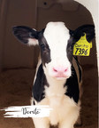 Adopt a Cow program brings dairy education to the classroom;...