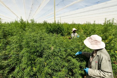 Highlands outdoor Cannabis grow facility in Lesotho