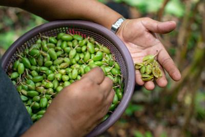 Green cardamom. Daniel Lopez/Heifer International