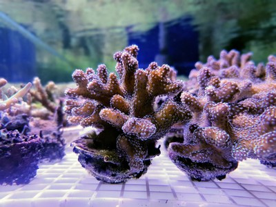 Corals grown in the south of Israel, in a closed, controlled aquatic (aquarium) system are used to produce bioactive bone graft material.
