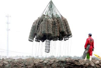 Oysters being hoisted from the water and brought ashore
