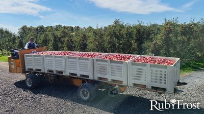 Several bins of freshly picked RubyFrost apples on their way to be packed and shipped.