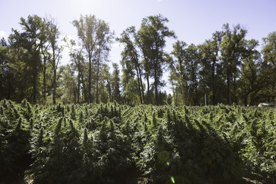 Halo Collective today announced a significant expected increase in yield and number of strains across its 11 acres of owned or contracted outdoor cultivation in the state of Oregon, which is almost four times the flower harvested at the Company's owned or managed Oregon farms during the 2020 season. (CNW Group/Halo Collective Inc.)