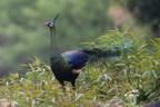 People's Daily Online: uma pesquisa do Instituto de Zoologia de Kumming mostrou um aumento estável da população de pavões verdes, uma espécie ameaçada de extinção
