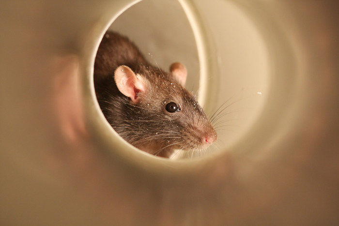 Rodents are known to cause severe structural damage with their strong jaws and burrowing skills. They have oversized front teeth that can gnaw a variety of items, including electrical wires, water pipes and gas lines.