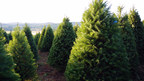 Updated supply information from growers of real Christmas trees