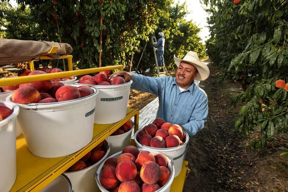 Gerawan Farming (PRNewsFoto/Gerawan Farming) (PRNewsFoto/Gerawan Farming)