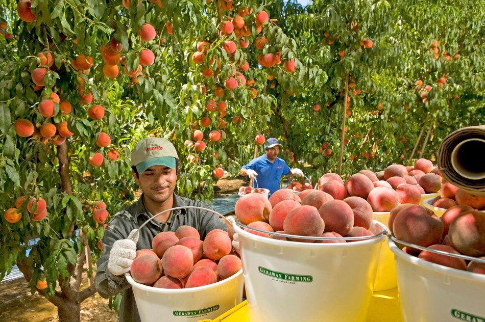 Gerawan Farming (PRNewsFoto/Gerawan Farming)
