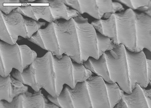 Magnified Shark Skin.