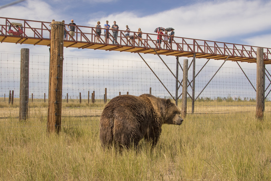 2,000 pound Kodiak Bear being observed by visitors on record-breaking walkway at The Wild Animal Sanctuary (PRNewsFoto/The Wild Animal Sanctuary)