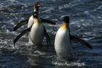 Pew salue la protection renforcée par la France de zones marines entourant les îles Crozet et Kerguelen