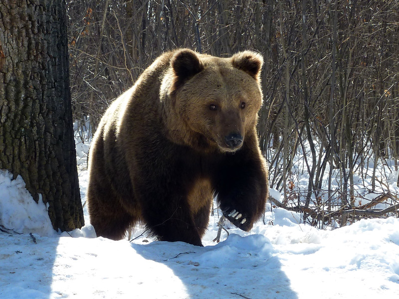 A rescued bear walking in the snow in the World Animal Protection-funded sanctuary in Zarnesti, Romania. Credit: AMP