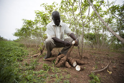 Scientists under VIRCA Plus are developing improved cassava varieties to enhance the livelihoods and health status of African farm families.