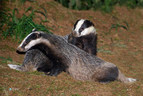 Latest figures reveal over 10,000 badgers were killed in this year's controversial badger cull
