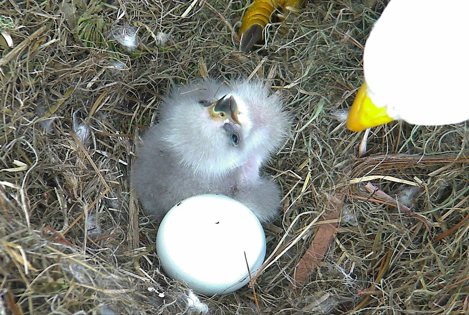 """NE16,"" the eaglet in the picture, hatched yesterday LIVE on the American Eagle Foundation's Northeast Florida Eagle Cam (NEFL). Its soon-to-be-sibling, ""NE17,"" pipped (cracked) through its eggshell this morning and should hatch over the next 24-48 hours. Watch Bald Eagle parents ""Romeo"" & ""Juliet"" raise their family LIVE on nefleaglecam.org."